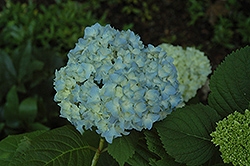 Mini Penny Hydrangea (Hydrangea macrophylla 'Mini Penny') at Bartlett's Farm