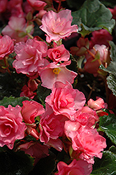 Glory Begonia (Begonia 'Glory') at Bartlett's Farm