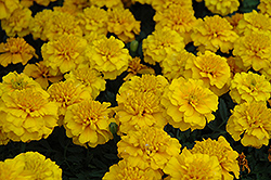 Janie Gold Marigold (Tagetes patula 'Janie Gold') at The Mustard Seed