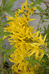 Gold Tide Forsythia (Forsythia x intermedia 'Gold Tide') at The Mustard Seed