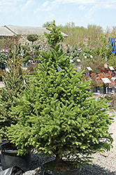 North Star Spruce (Picea glauca 'North Star') at Dundee Nursery