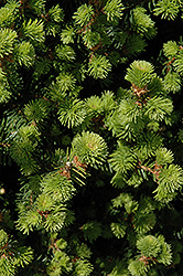 Sherwood Compact Norway Spruce (Picea abies 'Sherwood Compact') at Dundee Nursery