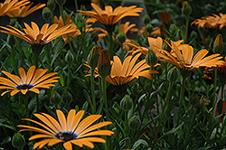 Orange Symphony African Daisy (Osteospermum 'Orange Symphony') at Bartlett's Farm
