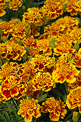 Little Hero Fire Marigold (Tagetes patula 'Little Hero Fire') at The Mustard Seed