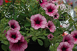 Supertunia® Mini Rose Veined Petunia (Petunia 'Supertunia Mini Rose Vein') at The Mustard Seed
