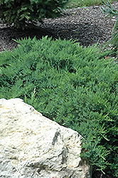 Broadmoor Juniper (Juniperus sabina 'Broadmoor') at The Mustard Seed