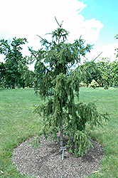 Red Tipped Norway Spruce (Picea abies 'Rubra Spicata') at The Mustard Seed