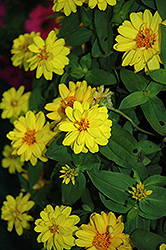 Profusion Double Yellow Zinnia (Zinnia 'Profusion Double Yellow') at The Mustard Seed