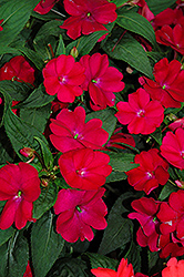 SunPatiens® Compact Royal Magenta New Guinea Impatiens (Impatiens 'SunPatiens Compact Royal Magenta') at The Mustard Seed