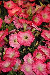 Easy Wave® Rosy Dawn Petunia (Petunia 'Easy Wave Rosy Dawn') at The Mustard Seed