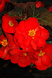 Nonstop® Mocca Scarlet Begonia (Begonia 'Nonstop Mocca Scarlet') at The Mustard Seed