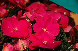 Super Sonic Hot Pink New Guinea Impatiens (Impatiens hawkeri 'Super Sonic Hot Pink') at The Mustard Seed