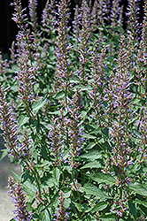 Purple Haze Hyssop (Agastache 'Purple Haze') at Bartlett's Farm