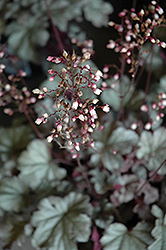 Stainless Steel Coral Bells (Heuchera 'Stainless Steel') at The Mustard Seed