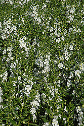 Angelface® White Angelonia (Angelonia angustifolia 'Angelface White') at Bartlett's Farm