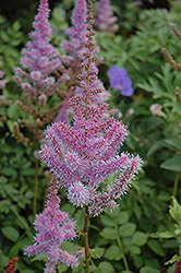 Purple Candles Astilbe (Astilbe chinensis 'Purple Candles') at Flagg's Garden Center