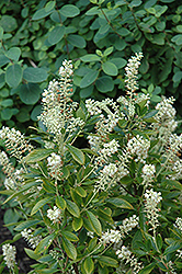 Hummingbird Summersweet (Clethra alnifolia 'Hummingbird') at Flagg's Garden Center
