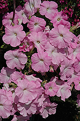 Easy Wave Mystic Pink Petunia (Petunia 'Easy Wave Mystic Pink') at The Mustard Seed