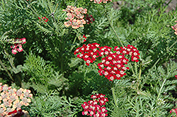 Song Siren Laura Yarrow (Achillea millefolium 'Song Siren Laura') at Dundee Nursery