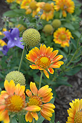 Mesa Peach Blanket Flower (Gaillardia x grandiflora 'Mesa Peach') at Flagg's Garden Center