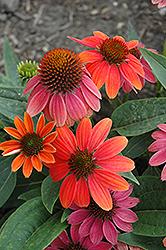 Sombrero® Hot Coral Coneflower (Echinacea 'Balsomcor') at The Mustard Seed