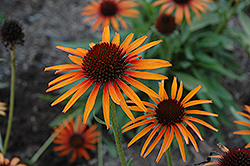Flame Thrower Coneflower (Echinacea 'Flame Thrower') at Flagg's Garden Center