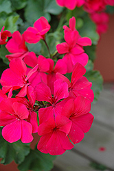 Caliente Dark Rose Geranium (Pelargonium 'Caliente Dark Rose') at The Mustard Seed