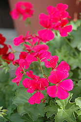 Caliente Rose Geranium (Pelargonium 'Caliente Rose') at The Mustard Seed