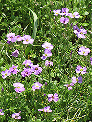 Rock Cress (Aubrieta columnae) at The Mustard Seed