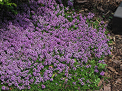 Purple Carpet Creeping Thyme (Thymus praecox 'Purple Carpet') at Dundee Nursery