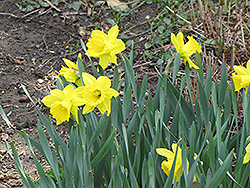 Dutch Master Daffodil (Narcissus 'Dutch Master') at Bartlett's Farm