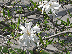 Royal Star Magnolia Clump (Magnolia stellata 'Royal Star') at Bachman's Landscaping