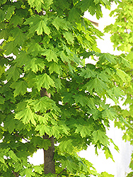 Columnar Norway Maple (Acer platanoides 'Columnare') at Bachman's Landscaping
