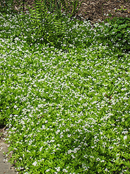 Sweet Woodruff (Galium odoratum) at Bartlett's Farm