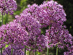 Giant Onion (Allium giganteum) at Bartlett's Farm