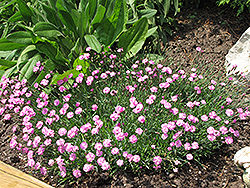 Tiny Rubies Dwarf Mat Pinks (Dianthus gratianopolitanus 'Tiny Rubies') at Bartlett's Farm