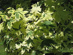Variegated Norway Maple (Acer platanoides 'Variegatum') at Bachman's Landscaping