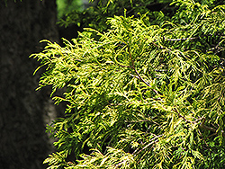 Golden Threadleaf Falsecypress (Chamaecyparis pisifera 'Filifera Aurea') at Flagg's Garden Center