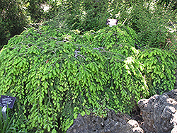 Cole's Prostrate Hemlock (Tsuga canadensis 'Cole's Prostrate') at Bachman's Landscaping