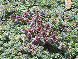 Wooly Thyme (Thymus pseudolanuginosis) at Arrowhead Nurseries Ltd.