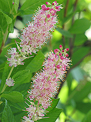 Ruby Spice Summersweet (Clethra alnifolia 'Ruby Spice') at The Mustard Seed