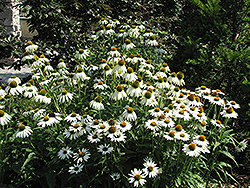 White Swan Coneflower (Echinacea purpurea 'White Swan') at The Mustard Seed