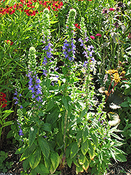 Blue Cardinal Flower (Lobelia siphilitica) at Bartlett's Farm