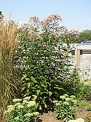 Joe Pye Weed (Eupatorium purpureum) at Bartlett's Farm