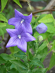 Balloon Flower (Platycodon grandiflorus) at Flagg's Garden Center