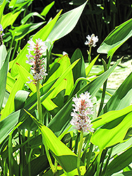White Pike Pickerelweed (Pontederia cordata 'White Pike') at The Mustard Seed