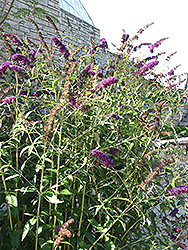 Black Knight Butterfly Bush (Buddleia davidii 'Black Knight') at Bartlett's Farm
