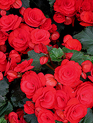 Nonstop® Red Begonia (Begonia 'Nonstop Red') at Bartlett's Farm