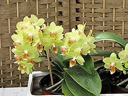 Hybrid Moth Orchid (Phalaenopsis x hybrida) at A Very Successful Garden Center