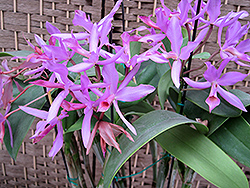 Guatemalan Cattleya Orchid (Cattleya guatemalensis) at A Very Successful Garden Center